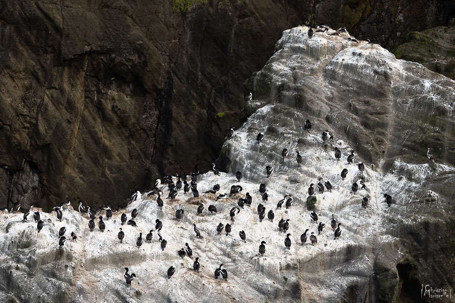 Cormoran des Chatham