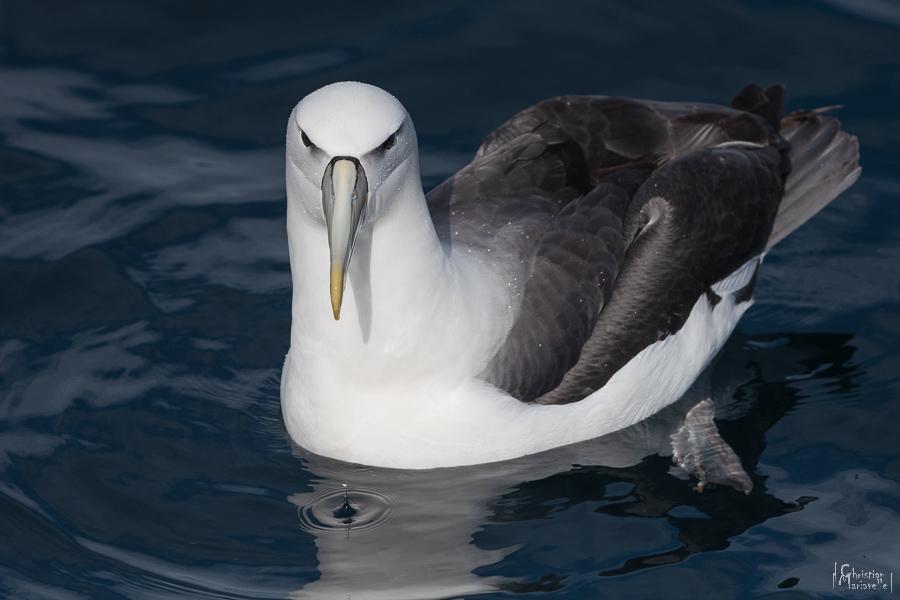 Albatros de Stead